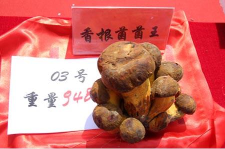 香根菌菌王
