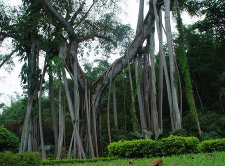 那棵榕树的枝干上长出的气生根多达200余条,这些气生根,有精若碗口的