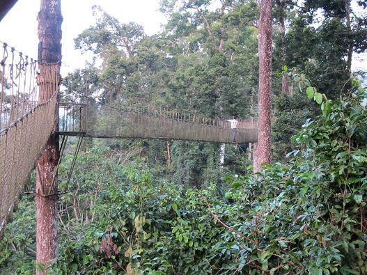 1975年,西双版纳勐腊县一个特别高大的树木群落被植物家发现,它们最高的,有80多米,这是一种龙脑香科植物,热带雨林的标志性树木。这些树如此之高,不但在雨林中高过林冠2030米,而且高过了中国所有树木。高大的树们卓立于辽阔的雨林树木之间,一副伸头望天的样子,于是被叫做望天树。   望天树的发现,有一种对中国热带雨林的证明作用。谁说中国没有热带雨林?西双版纳,看去吧,望天树就是证明。还有呐,谁说中国没有龙脑香科的植物?到西双版纳去看吧!在亲眼看见望天树之前,我就是这么心怀成见的:望天树,是一种要让我们