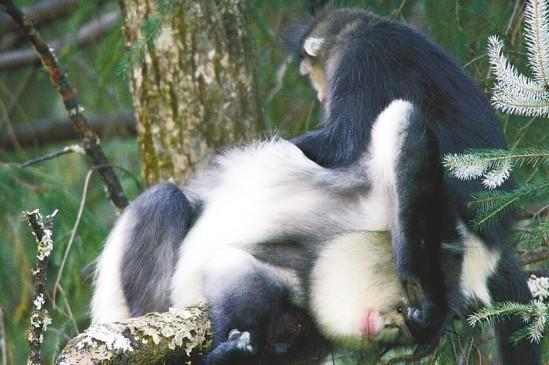 滇金丝猴男保姆想找女朋友