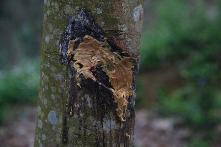 橡胶树暴胶处涂抹了用于保护的凡士林