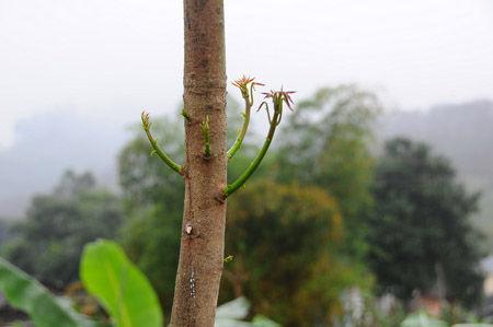 部分橡胶小树终于发芽了