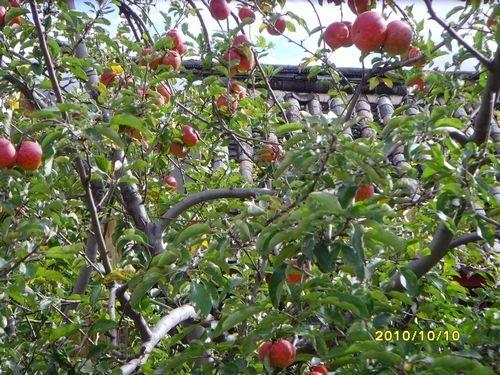 丽江苹果树客栈