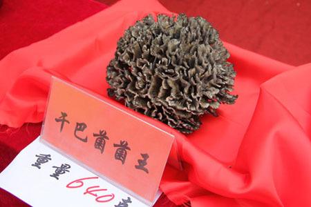干巴菌菌王