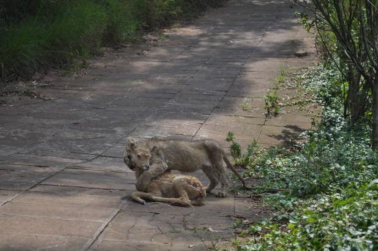 今天中午,不少游客在云南野生动物园目睹了一堂有趣、搞笑的动物捕食课:3只刚满3个月的狮子宝宝和1只半岁的东北虎宝宝在饲养员的指导下对1只梅花鹿模型发起攻击,不过,不懂捕猎的动物宝宝们却闹出了各种笑料。在训练的末尾,狮子宝宝要学习吞下整块的鸡肉,然而,对这种新的进食方式的不适应,让1只狮子宝宝频频吐舌,直到把美味的鸡肉吐出来才轻松不少。看来,这些人工喂养的狮虎宝宝生存训练的道路还漫长着呢。   据了解,随着越来越多的母狮、母虎弃子,野生动物园的饲养员不仅要充当奶爸的角色,还不得不当起了这些小家伙的启蒙老