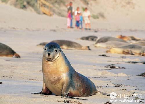 澳大利亚袋鼠岛:野生动物才是