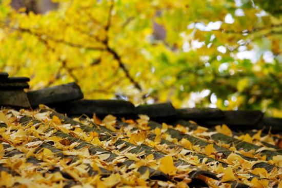 灰色的屋顶也被飘落的银杏叶点缀得多彩-满村尽落黄金叶 铺就了一个