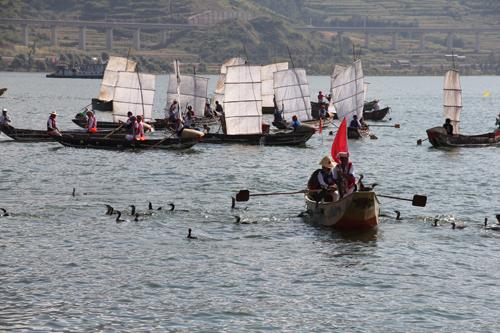 大理白族人民利用鱼鹰捕鱼