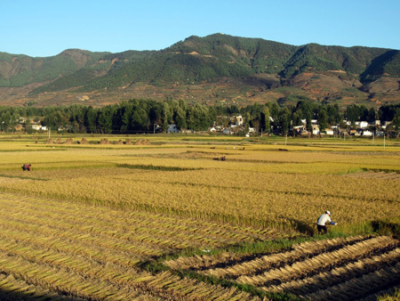 大旱之年 鲁甸县龙树乡水稻喜获丰收图片