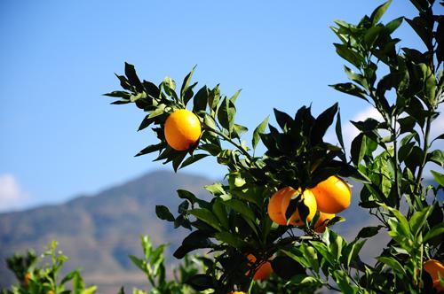 柑橘的解剖结构图
