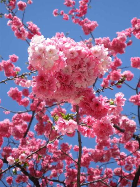 圆通山绽放盛开的樱花