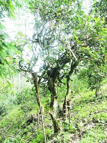 景迈山古茶园茶树