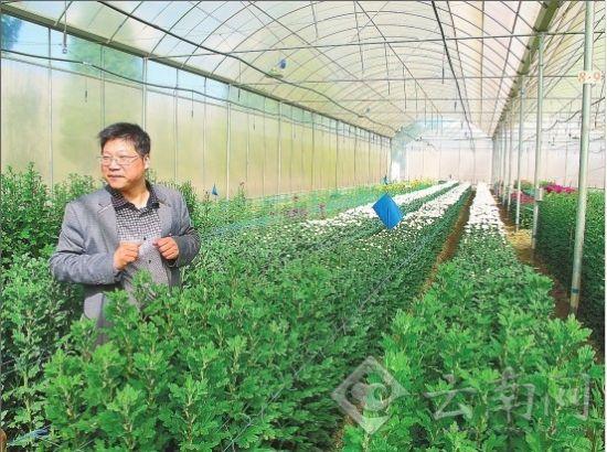 虹之华园艺公司菊花种苗基地满园尽是菊花苗
