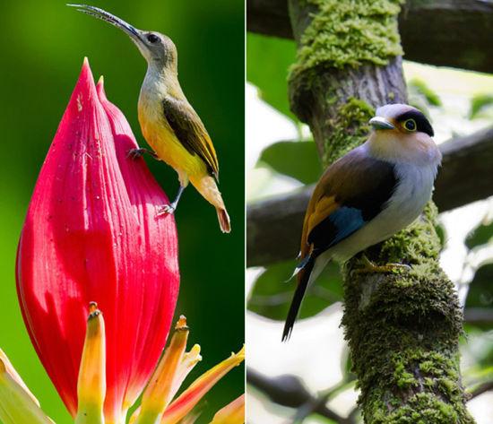 近年来,望天树热带雨林吸引了北京、浙江、加拿大、美国等地的观鸟爱好者慕名前来,拍到的鸟类图片传播到世界各地,引起业内的很大关注。据观鸟协会成员介绍:观鸟是一项历史悠久但又新潮的户外活动。只要一架望远镜,就可以在版纳辨认和观赏上千种鸟类。每年冬天,都有大批水鸟儿飞到版纳过冬。热带雨林温湿的气候更是适宜鸟儿过冬。另外,冬天到热带雨林观鸟,由于早晚温差很大,一定要注意衣服的增减。   目标鸟种:鹰鸮、领角鸮、黑胸太阳鸟、黄腰太阳鸟、灰腹绣眼、银胸丝冠鸟、橙胸咬鹃、赤红山椒鸟、褐背鹟鵙、绿嘴地鹃、黑翅雀鹎、黑