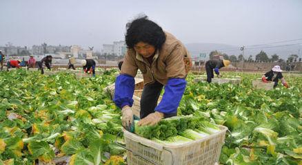 农民们正在收获蔬菜