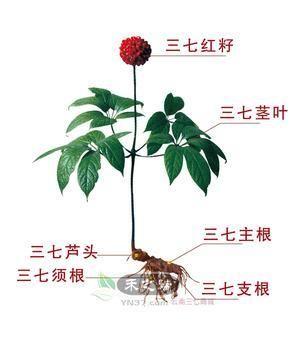 三七功能与作用的组织结构图
