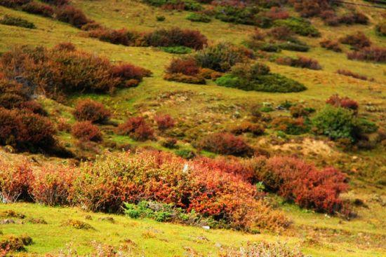 白马雪山上的植被