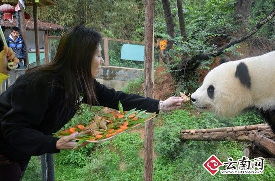大熊猫吃粽子 认养人现场做亲手喂; 认养人阮德慈将粽子亲手喂给思嘉.