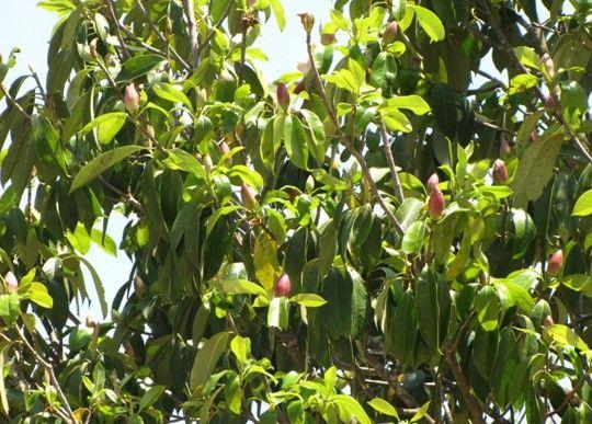 红花木莲植物,常年不落叶