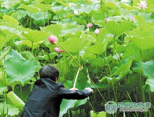 男子在翠湖公园纵身跳下荷花池摘花送女友。市民张影\摄