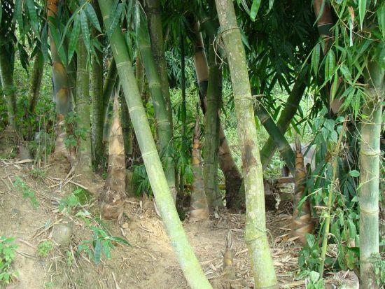 甜竹(图片来源:云南特产网)