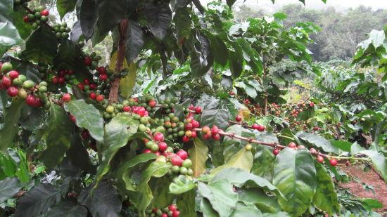小粒咖啡(图片来源:互动百科)
