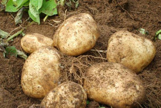 豆薯(图片来源:chan'di)