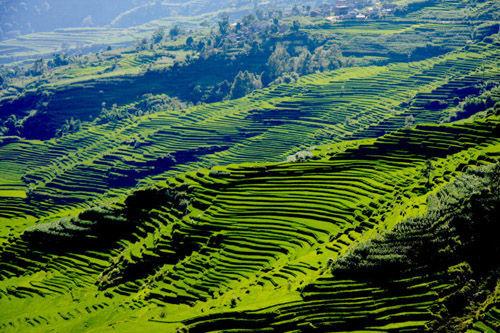 大山茶叶树图片