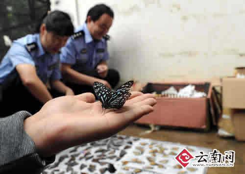 这批蝴蝶是由文山寄往北京的