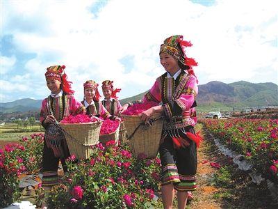 采摘玫瑰花(图片来源:云南电力报)