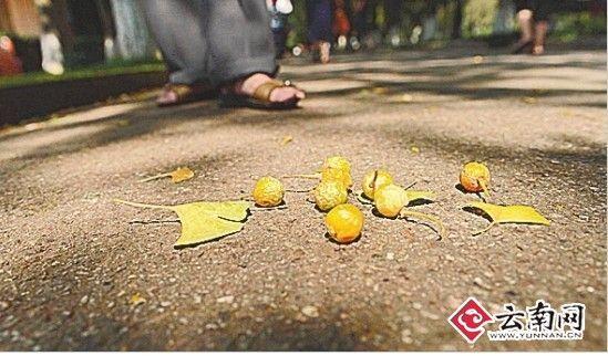 银杏果 记者 龙宇丹 摄