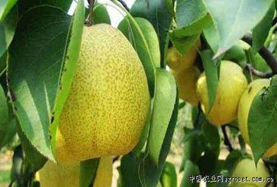 怒江古当梨(图片来源:中国农业网)