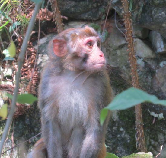 在旧屋基抢食农民玉米的猕猴