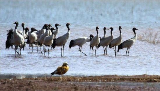 念湖黑颈鹤